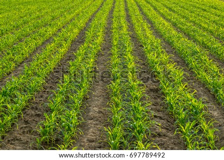 Farm of Corn field with line pattern with warm sunlight