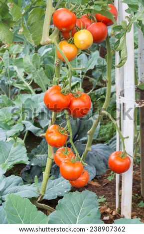 Farm of tasty red cherry tomatoes on the bushes - stock photo