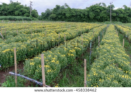 farm of young white and Yellow chrysanthemum flowers. - stock photo