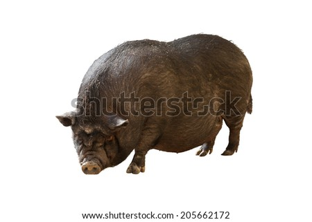 Farm pig. Isolated over white background - stock photo