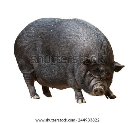 Farm pig  over white background - stock photo