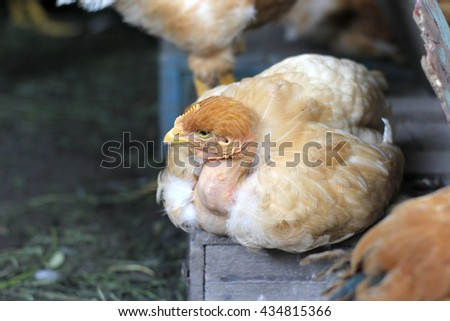 Farm. Poultry yard. Chickens (hens) in cage free, free range, antibiotic free and hormone free farming. - stock photo