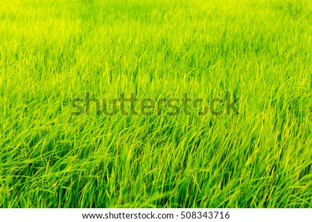 Farm. Rice. Green rice. Green rice fields in Northern Highlands of Thailand. Fresh spring green grass.Cornfield background. Rice Background