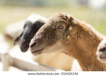 Farm sheep - stock photo
