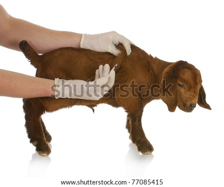 farm veterinary care - south african goat kid getting vaccinated on white background - stock photo