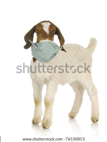 farm veterinary care - south african goat kid with medical mask on face - stock photo