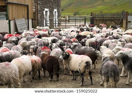 Farm with sheep - stock photo