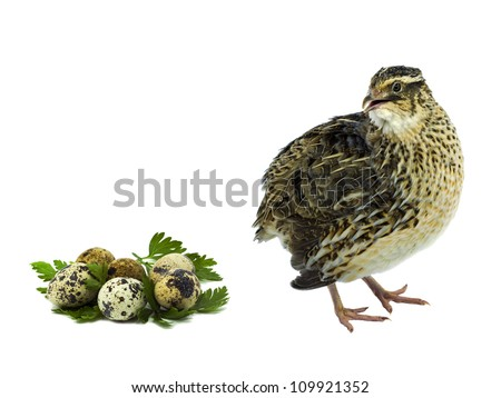 Farmed quail with eggs isolated on white background - stock photo