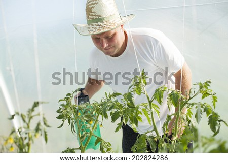 Farmer care about tomatos plants in greenhouse - stock photo
