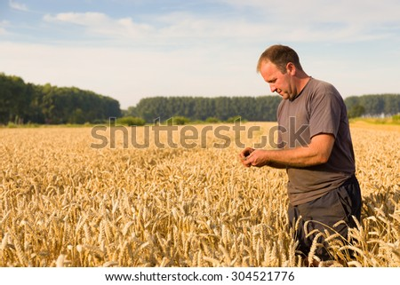 Farmer checks the wheat grain in the field.