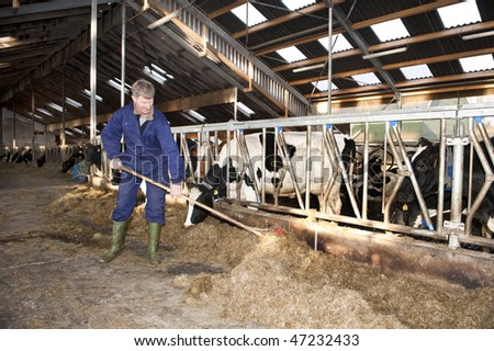 Farmer cleaning a modern stable, while one of his cows is eating - stock photo
