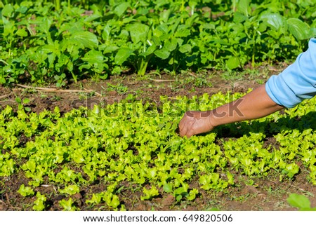 Farmer collect  vegetable