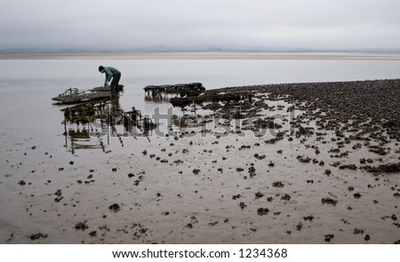 Farmer collecting oysters from beds near Holy Island (Lindisfarne) in Northumbria, England. - stock photo