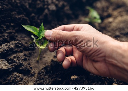 Farmer controlling growth of pepper plants in vegetable garden, homegrown organic food production, selective focus