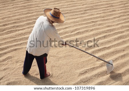 farmer drying rice by using harrow to equalize rice grain on the ground. - stock photo