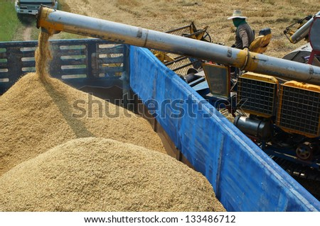 farmer feeding rice grain to truck. - stock photo