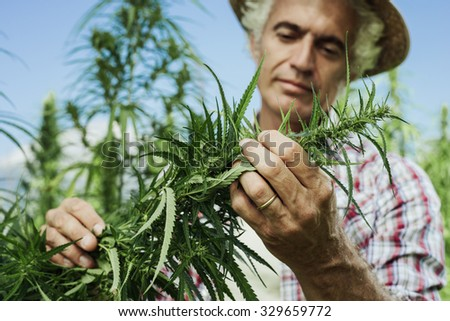 Farmer growing hemp and checking plants growth, agriculture and environment concept - stock photo
