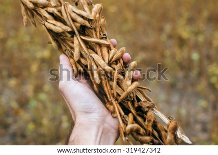 Farmer hand in harvest ready soy bean cultivated agricultural field, organic farming soya plantation   - stock photo