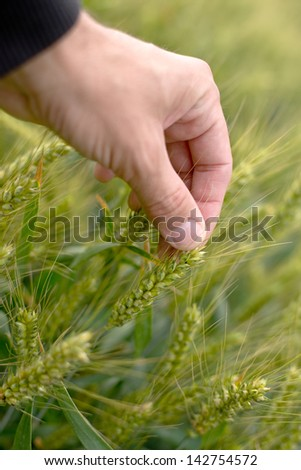Farmer hand in wheat field. Crop care and protection.