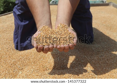 Farmer hands holding handful of wheat at wheat crop - stock photo