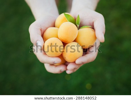 Farmer hands holding organic ripe apricots, selective focus - stock photo