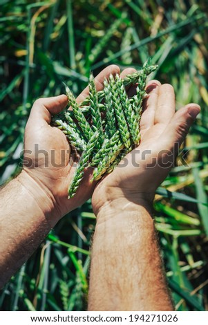 Farmer hands holding wheat