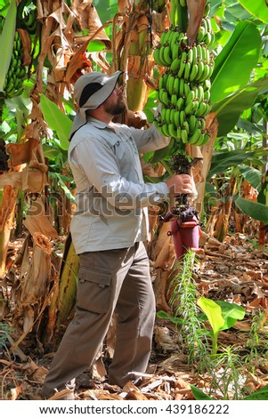 Farmer harvesting on a banana plantation. Ripe bananas are ready for harvest. Cultivation and vegetation of exotic fruits. Farming. Agricultural industry, seasons and crops. Agriculture theme  - stock photo