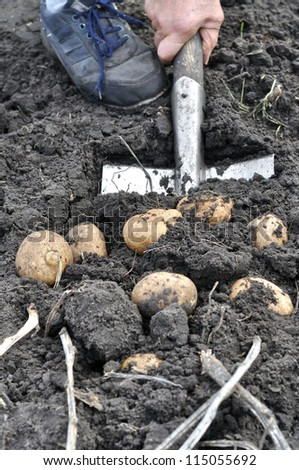 farmer harvesting potato in the vegetable garden - stock photo