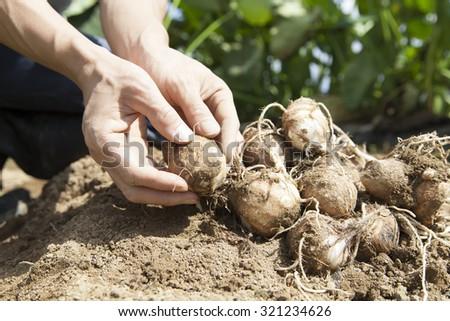 farmer harvesting taros - stock photo