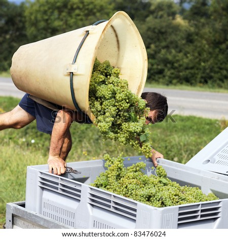 farmer harvesting the grapes during the harvest - stock photo
