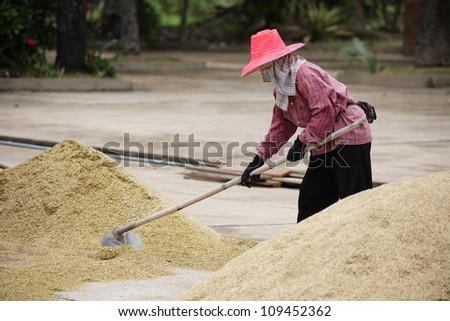 farmer healing rice in field. - stock photo