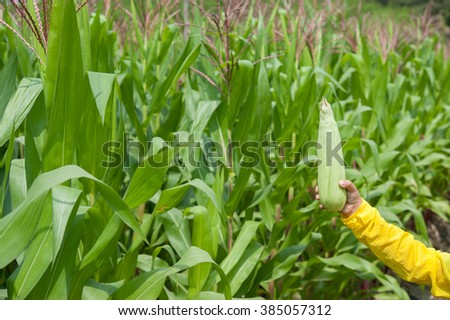 Farmer holding corn cobs in hand in corn field