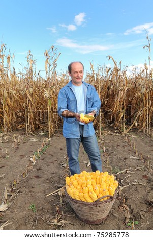 Farmer holding corn cobs in hands in front of corn plant - stock photo