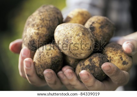 Farmer holding harvested dirty potatoes in his hands. Very short depth-of-field. - stock photo