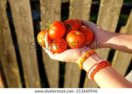 Farmer Holding Heirloom Tomatoes near fence - stock photo
