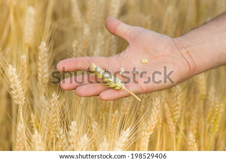 Farmer holding wheat grains in palm with wheat field in background - stock photo