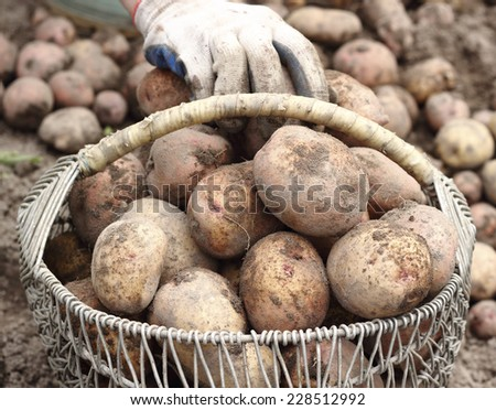Farmer in collects organic potatoes in a basket - stock photo