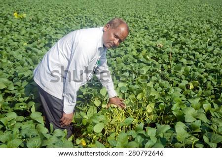 Farmer in Soybean farm Salunkwadi Ambajogai Beed Maharashtra India - stock photo