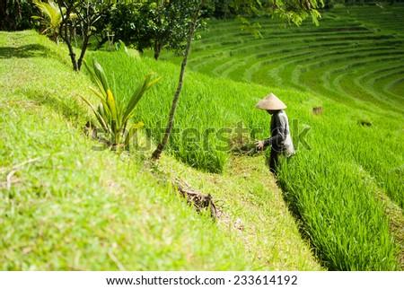 Farmer in the rice fields, beautiful rice terraces on Bali, Indonesia - stock photo