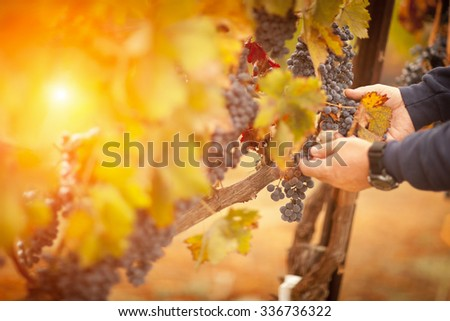 Farmer Inspecting His Wine Grapes In The Afternoon Sun. - stock photo