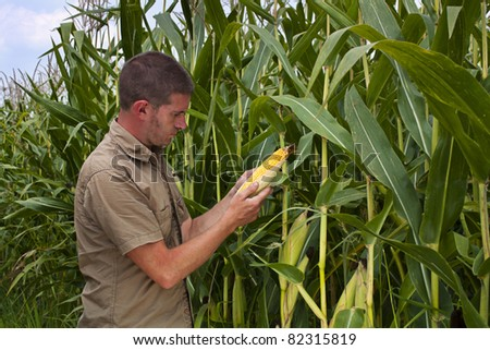 Farmer inspecting the years maize or sweetcorn harvest - stock photo