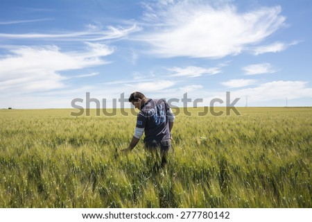 Farmer  is checking  the harvest quality wheat - stock photo
