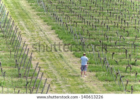 Farmer is checking the health of the grape vine and searching for illnesses in the vineyard - stock photo
