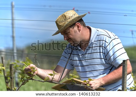 Farmer is checking the health of the grape vine and searching for illnesses in the vineyard