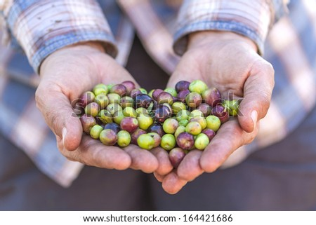 farmer is doing the harvest of olives for the oil - stock photo