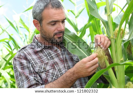 Farmer looking at sweetcorn in a field - stock photo