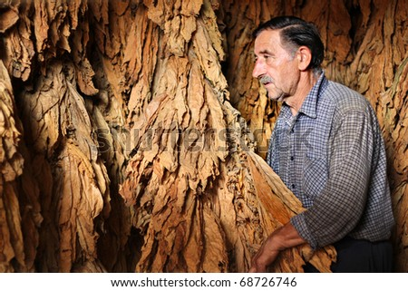 Farmer looks and controls dry tobacco leaf in the dryer - stock photo
