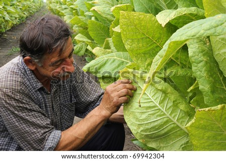 Farmer looks tobacco in the field - stock photo