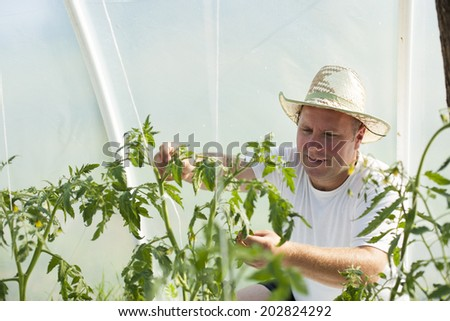 Farmer man with hat care about tomatos plants in greenhouse - stock photo