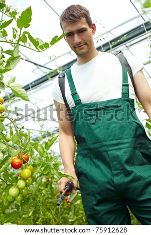 Farmer manuring tomatoes with backpack sprayer in greenhouse - stock photo